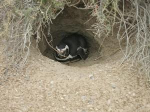 Ein Pinguin in seinem Nest
