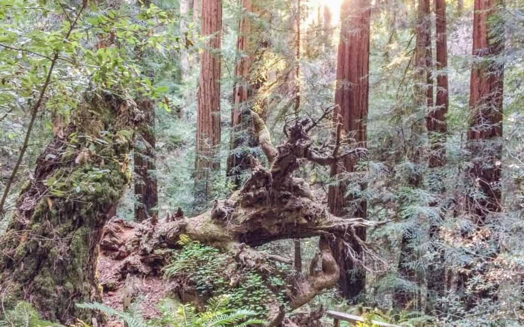 Das Muir Woods National Monument – Magische Momente in einem Meer aus Bäumen