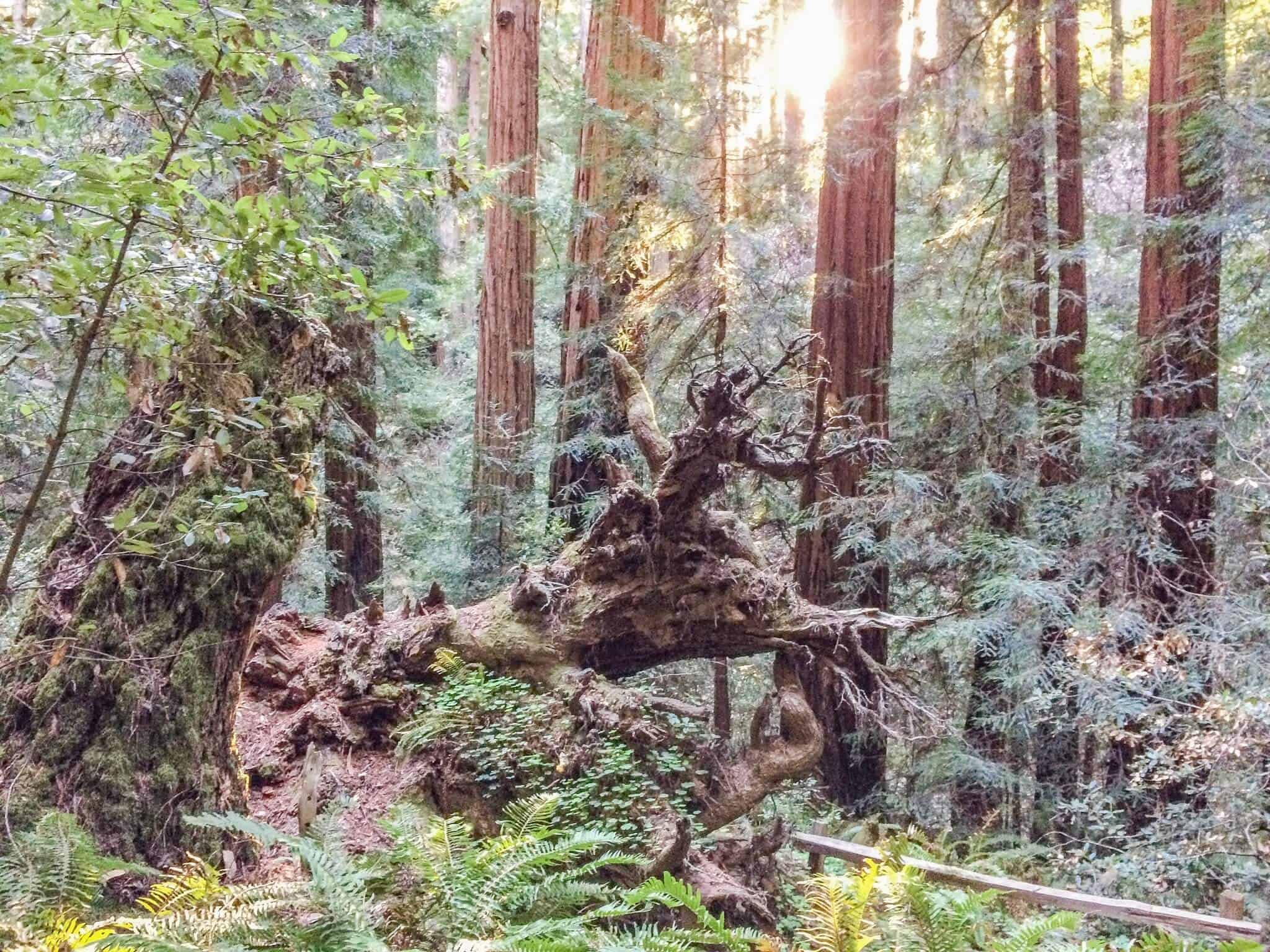 Red Woods im Muir Woods National Monument