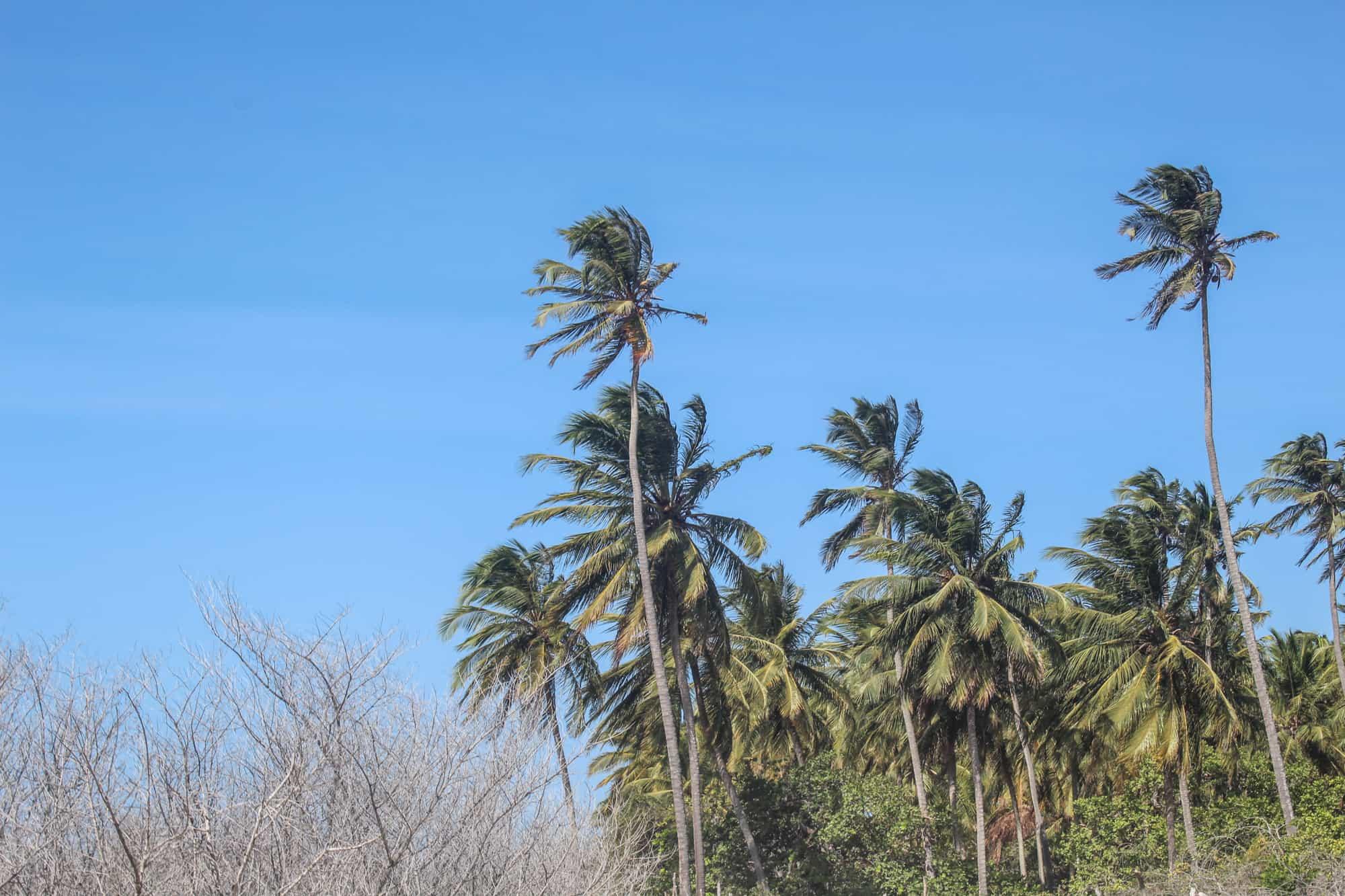 palmen jericoacoara