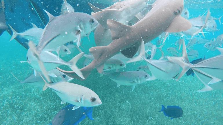Haie im Belize Barrier Reef