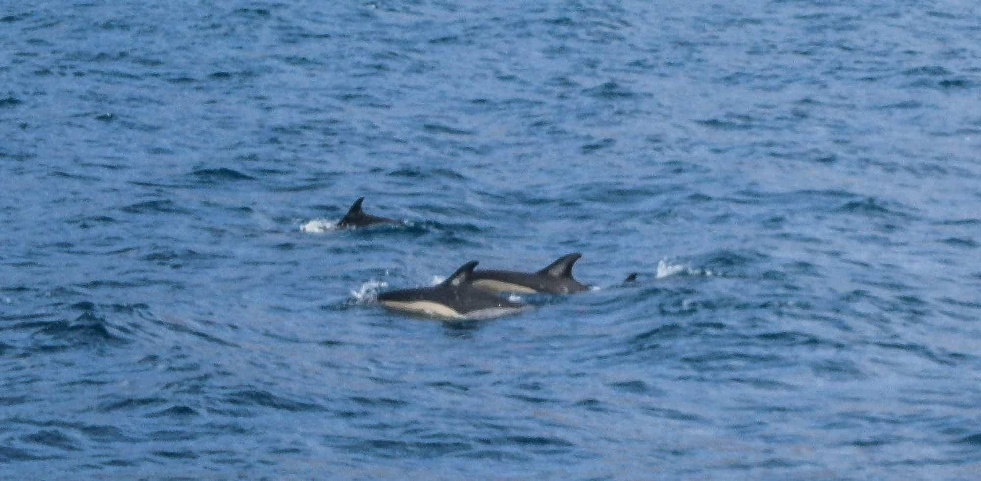 Delfine madeira