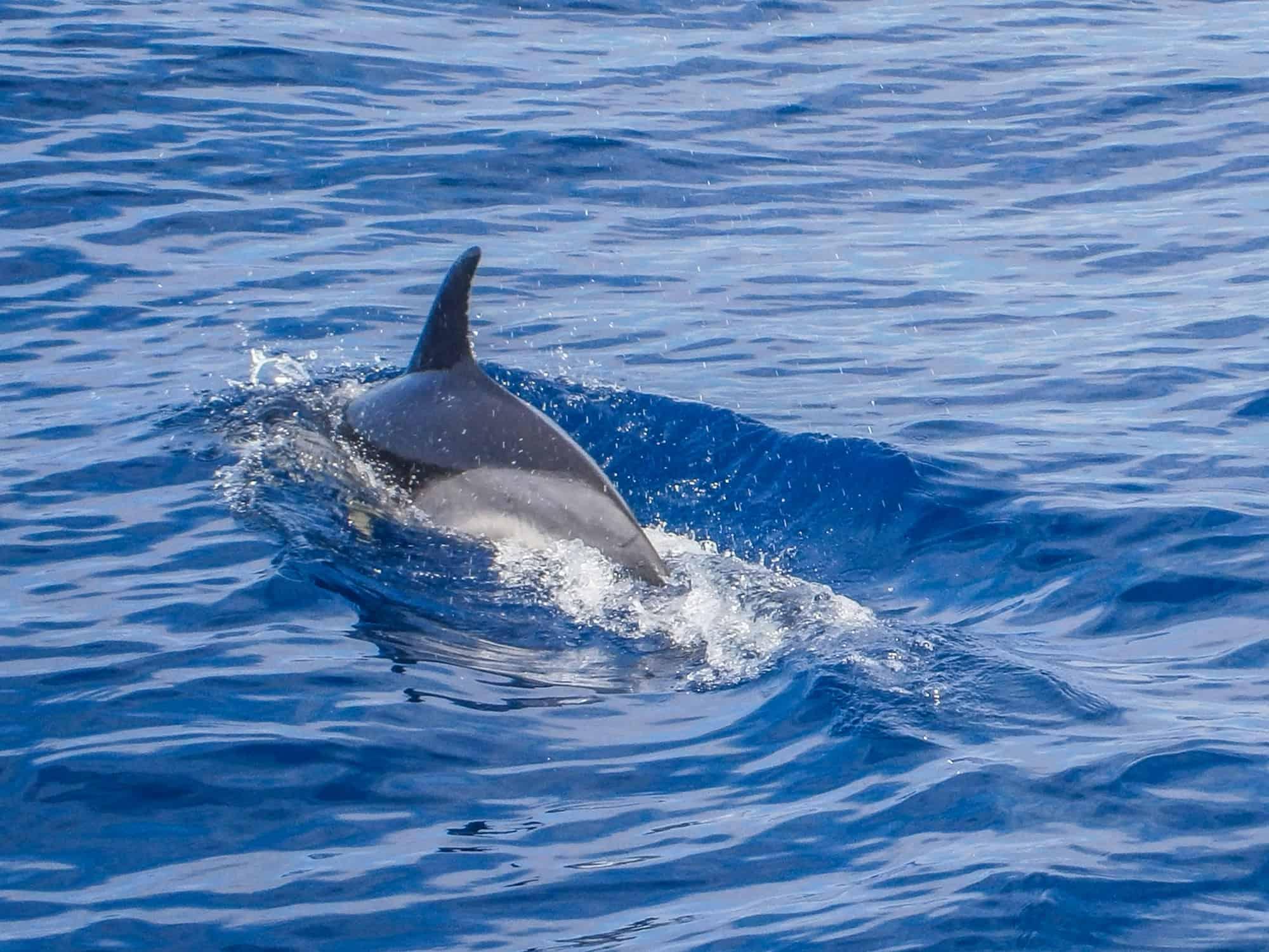 delfin madeira