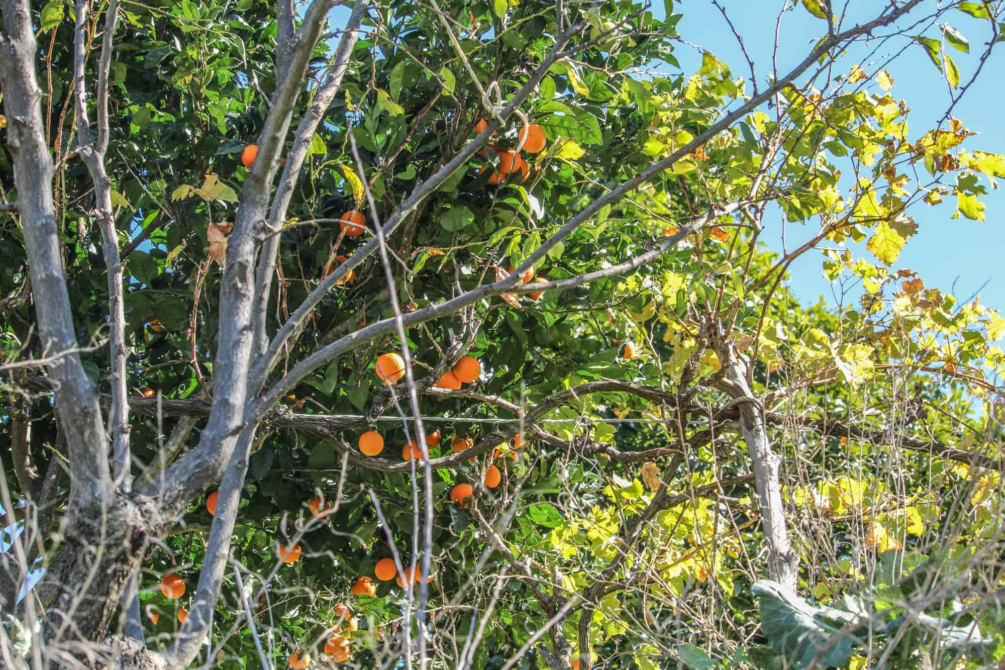 orangenbaum artenara