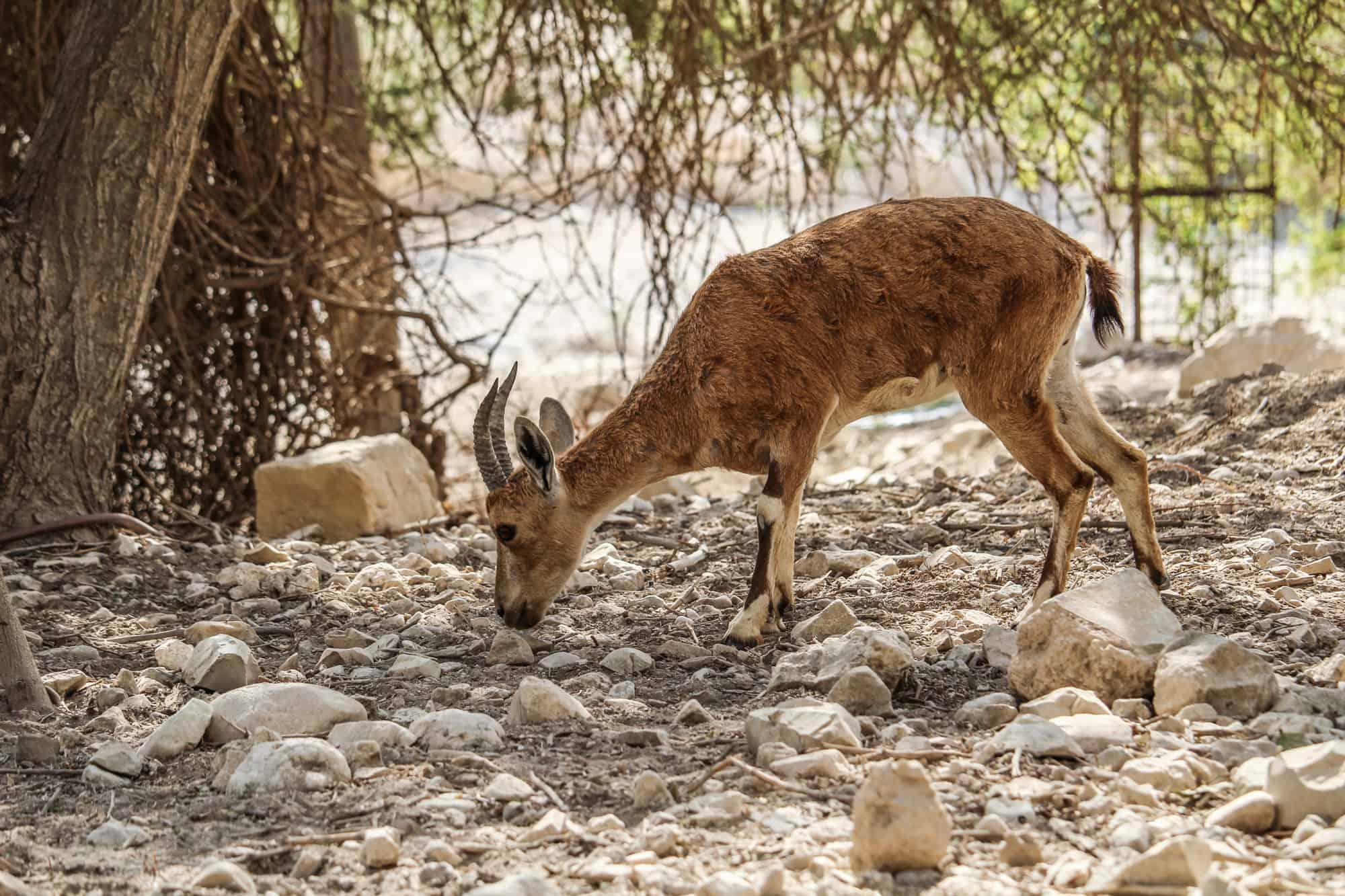 mini gazelle