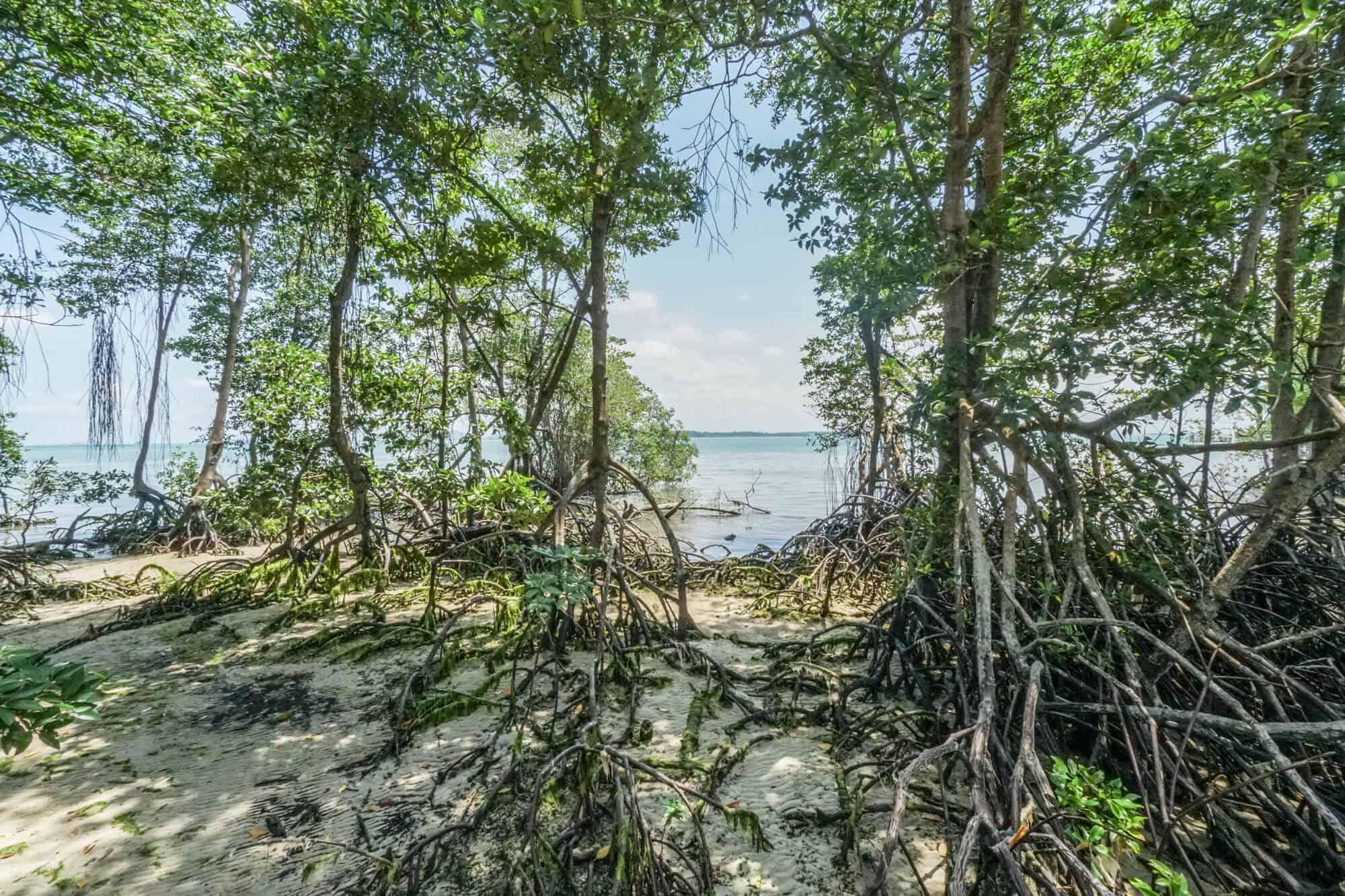 Pulau Ubin Check Jawa Wetlands Mangroven