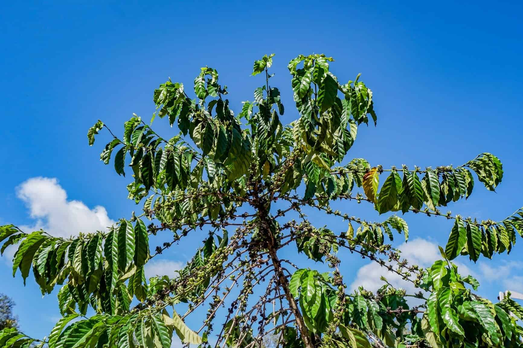 Coffea canephora tree at a coffee plantation in Chumphon