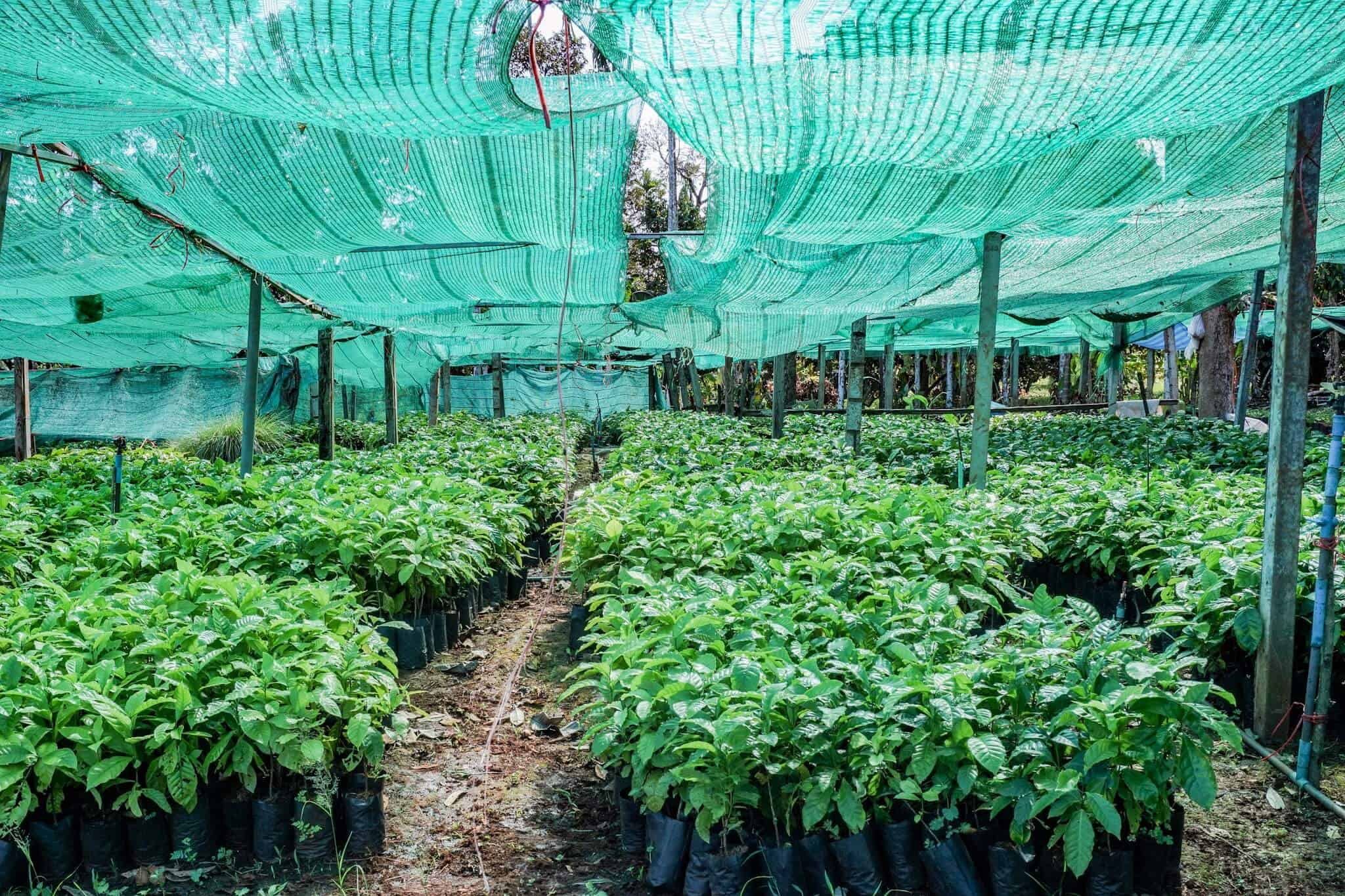 Chumphon Coffee Plantation