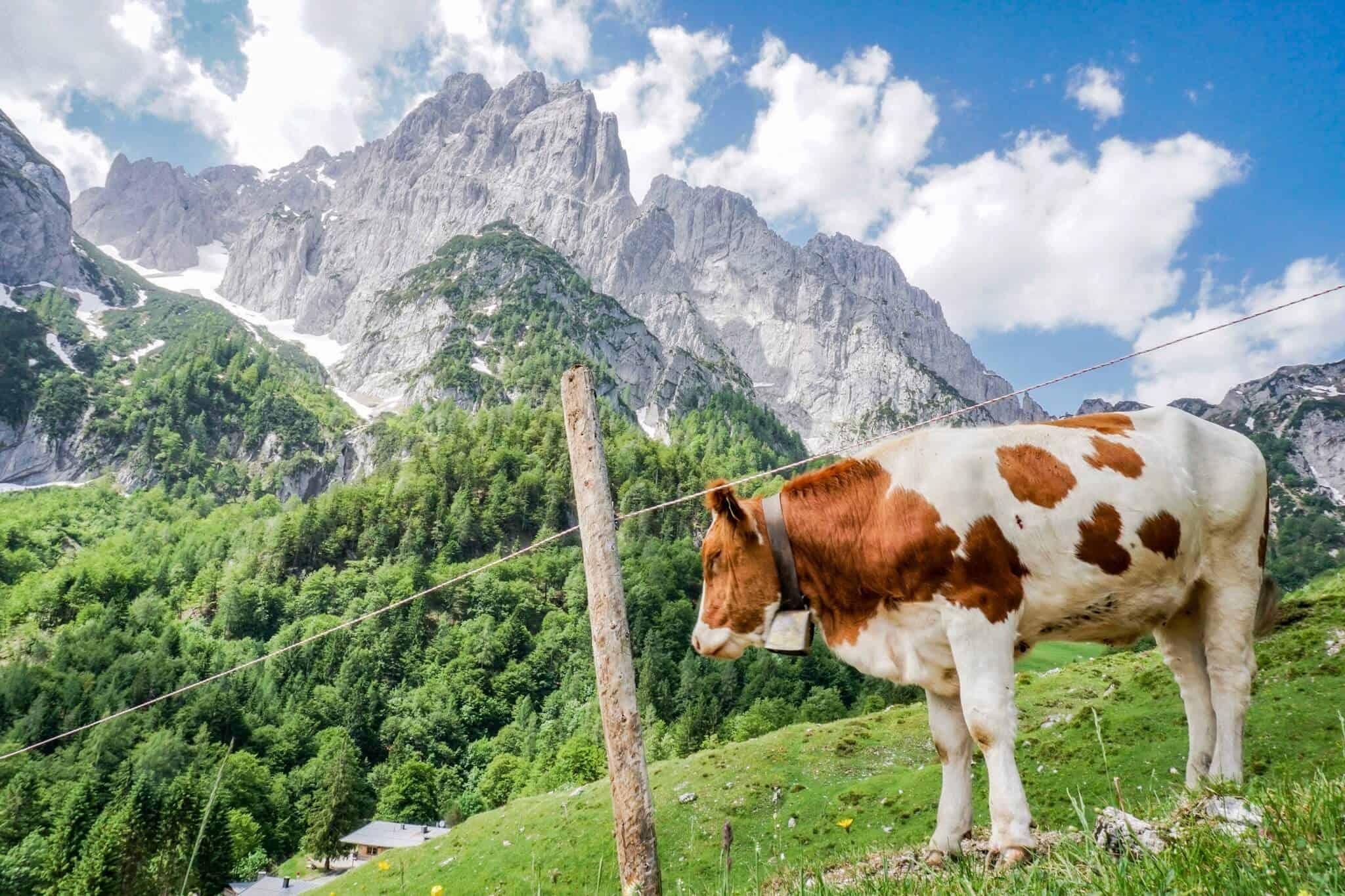Kuh am Koasa Trail vorm Wilden Kaiser Etappe 2