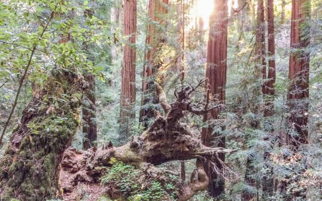 The Muir Woods National Monument – Magical Moments in a Sea of Trees