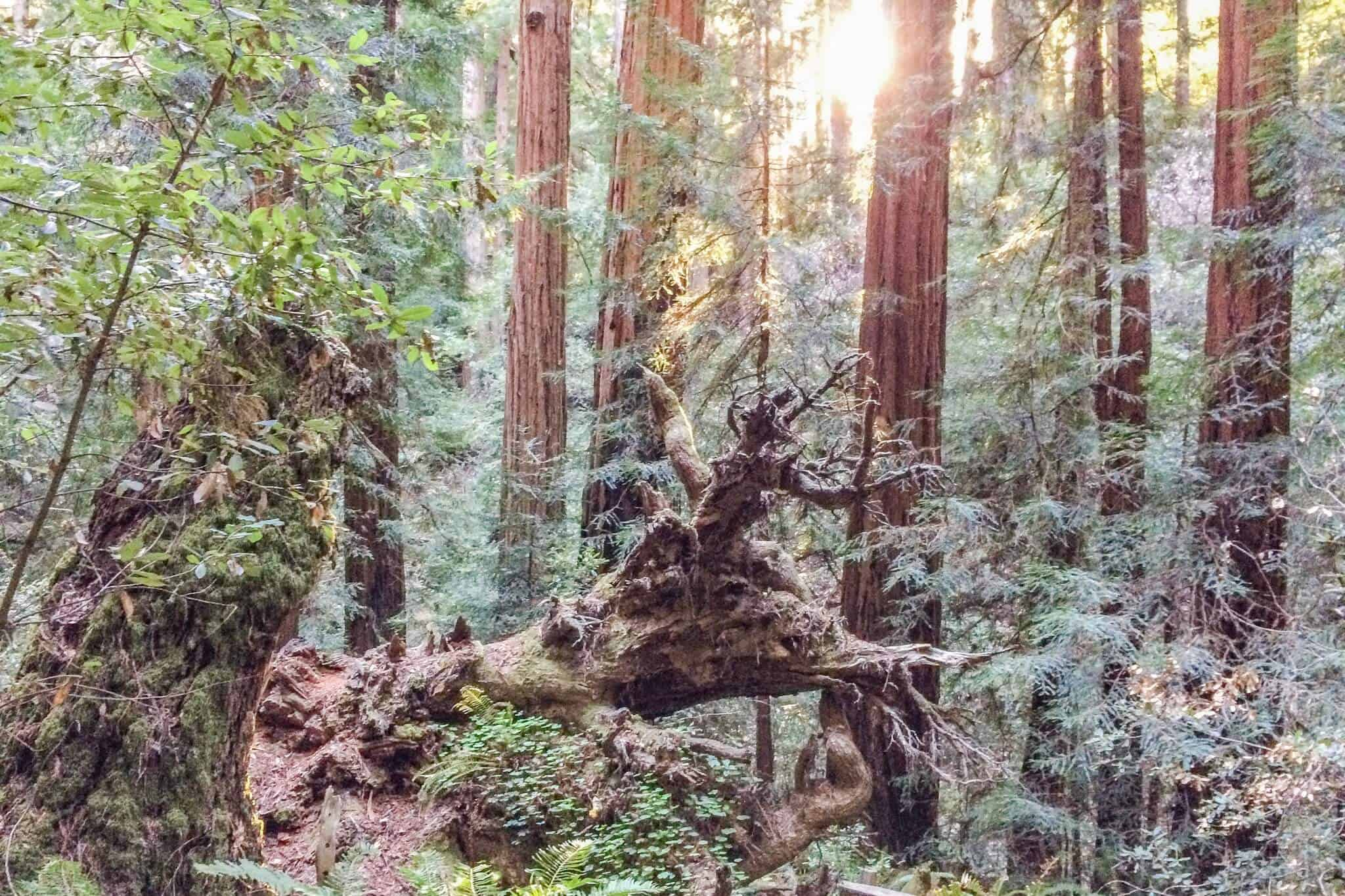 Muir Woods Title tiny