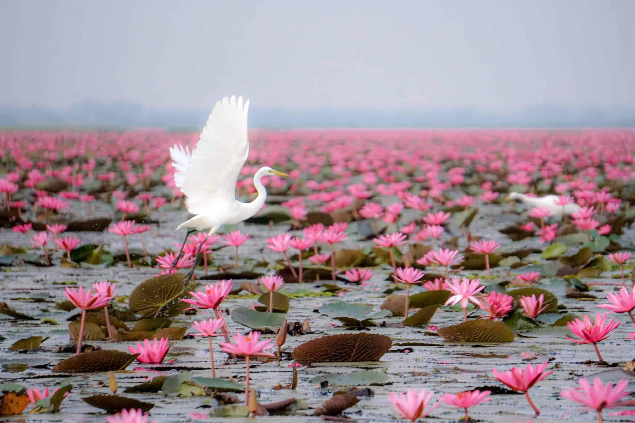 Reiher im Red Lotus Lake