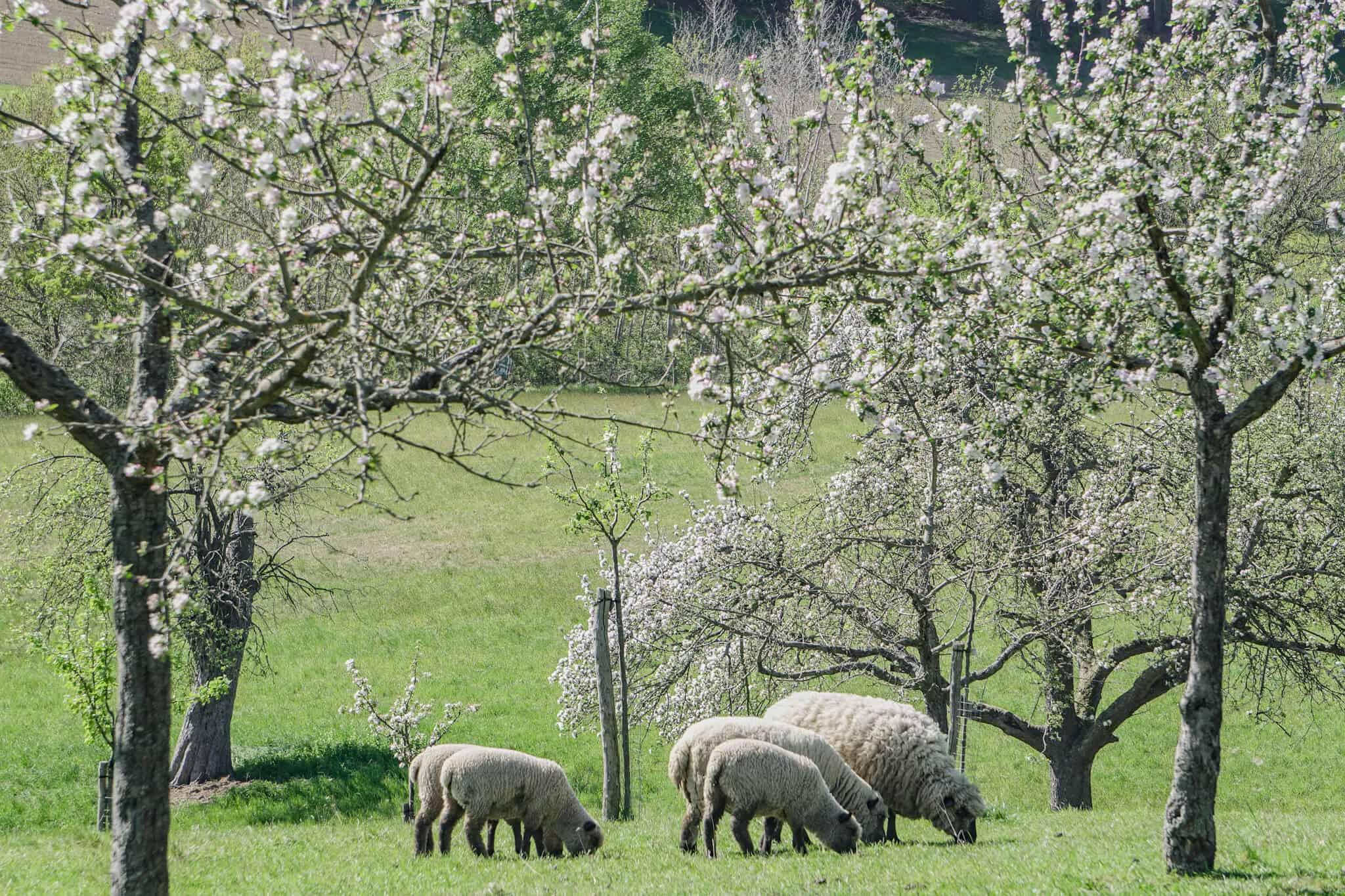 Blühende Streuobstwiese mit Schafen auf dem Pfad der Vielfalt