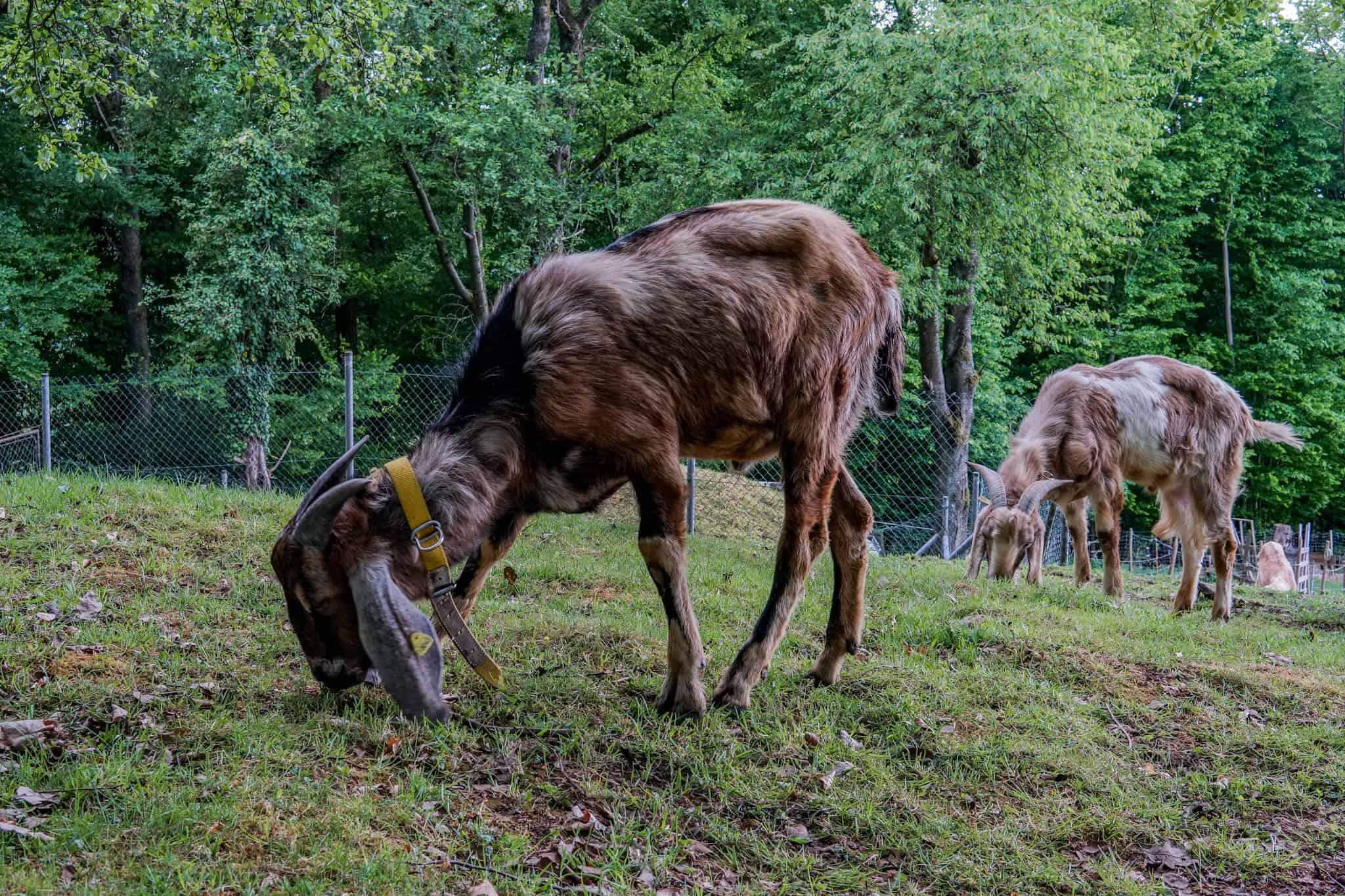 Ziegen nahe der Margarethenschlucht