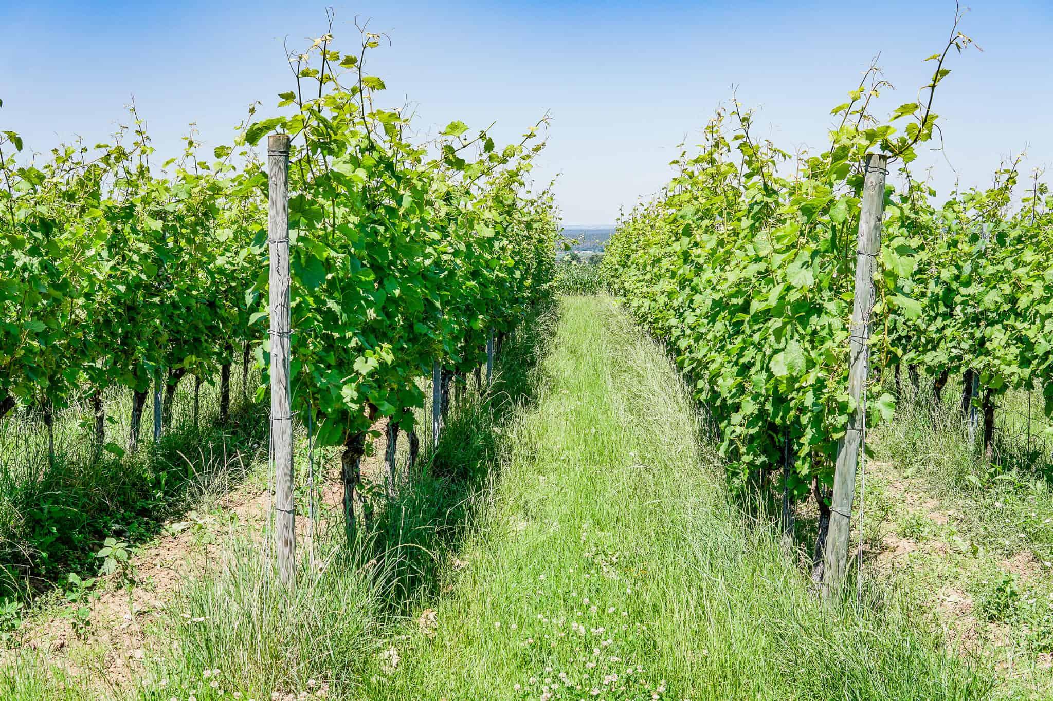 Reben auf der ersten Etappe vom Fränkischen Rotwein Wanderweg