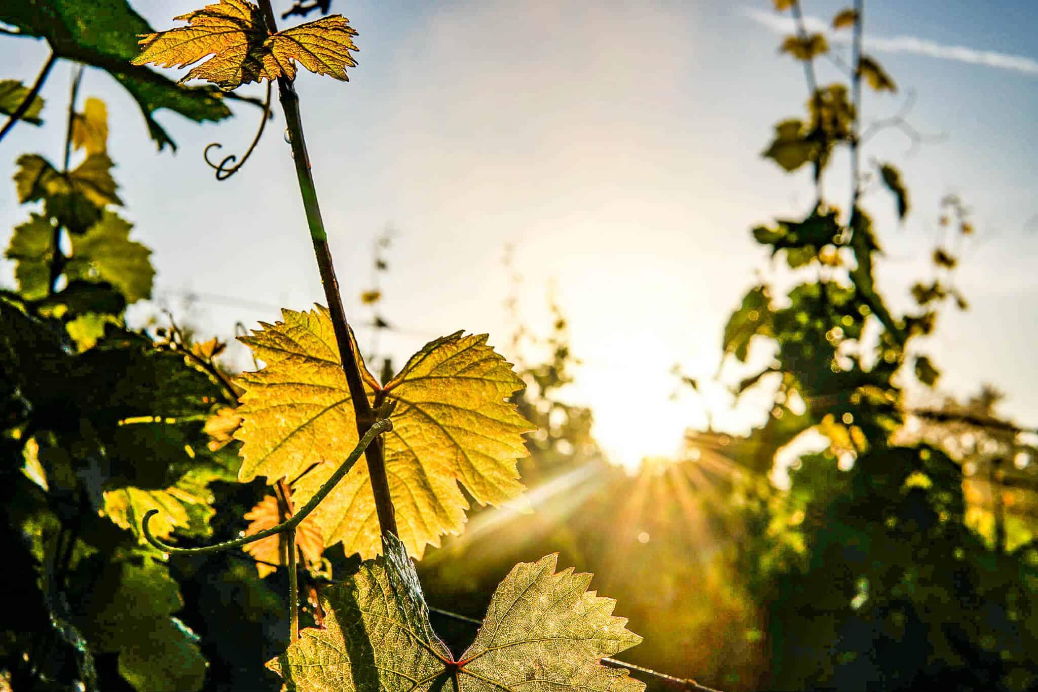 Weinblätter im Sonnenaufgang