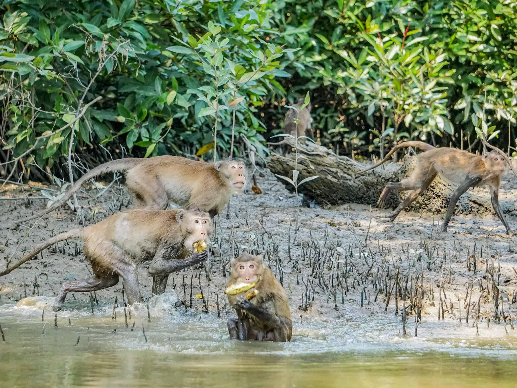Affen in Samut Songkram