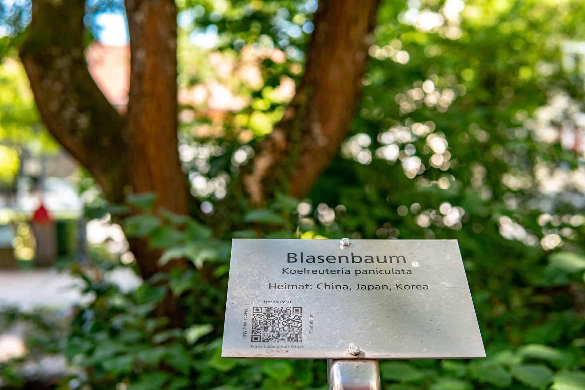 Blasenbaum Lohr am Main