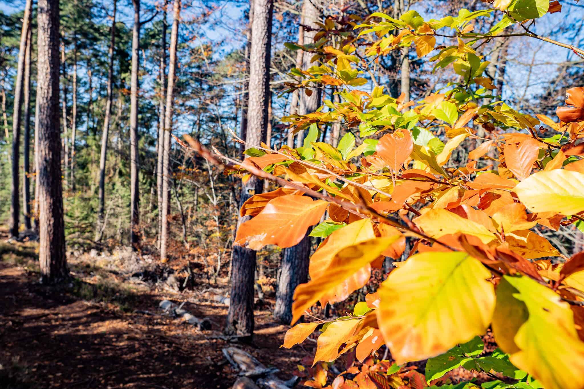 Dahner Felsenpfad Blätter