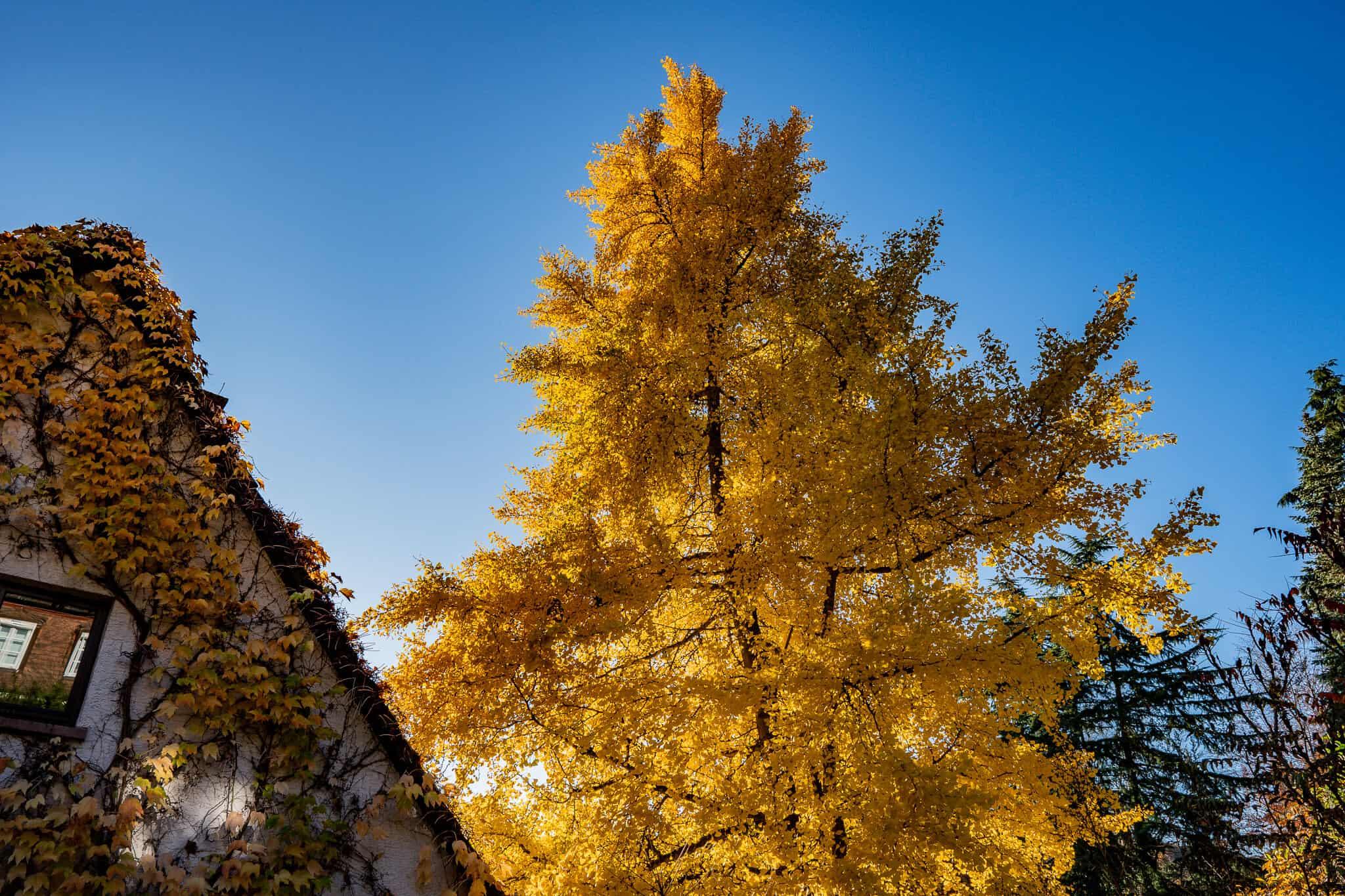 Gelbe Herbstblaetter