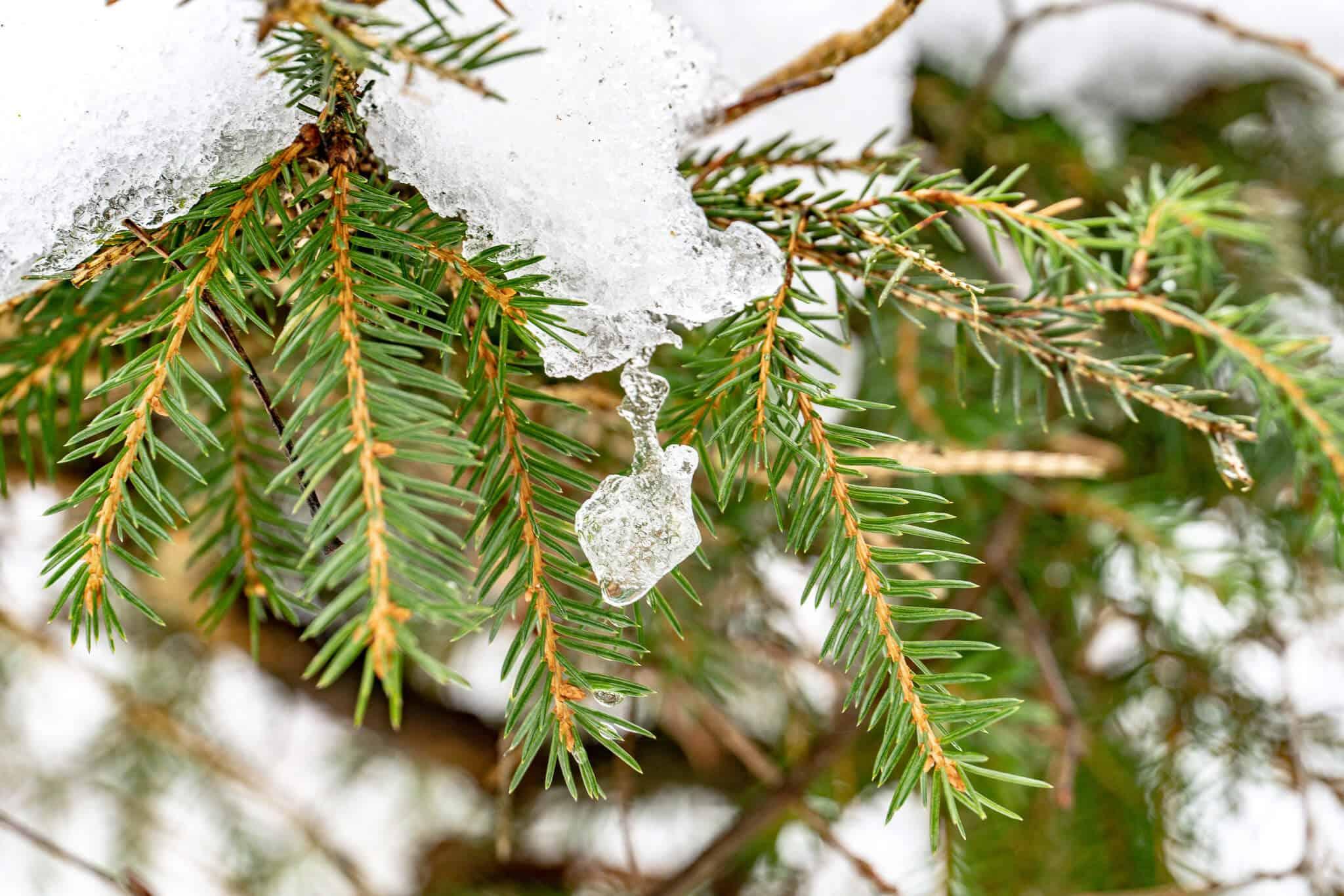 Eis auf Zweigen