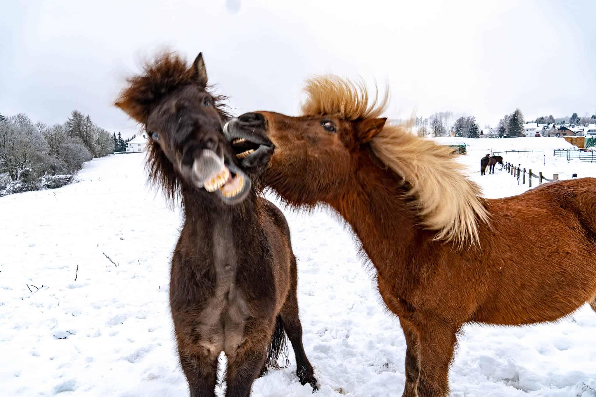 Islandpferde zanken