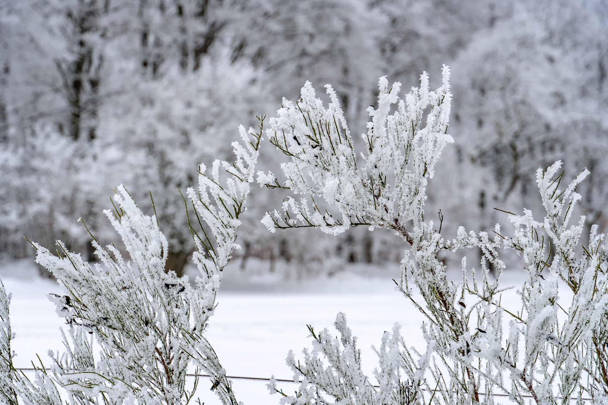 Schneebedeckte Zweige Feldberg-Wanderung
