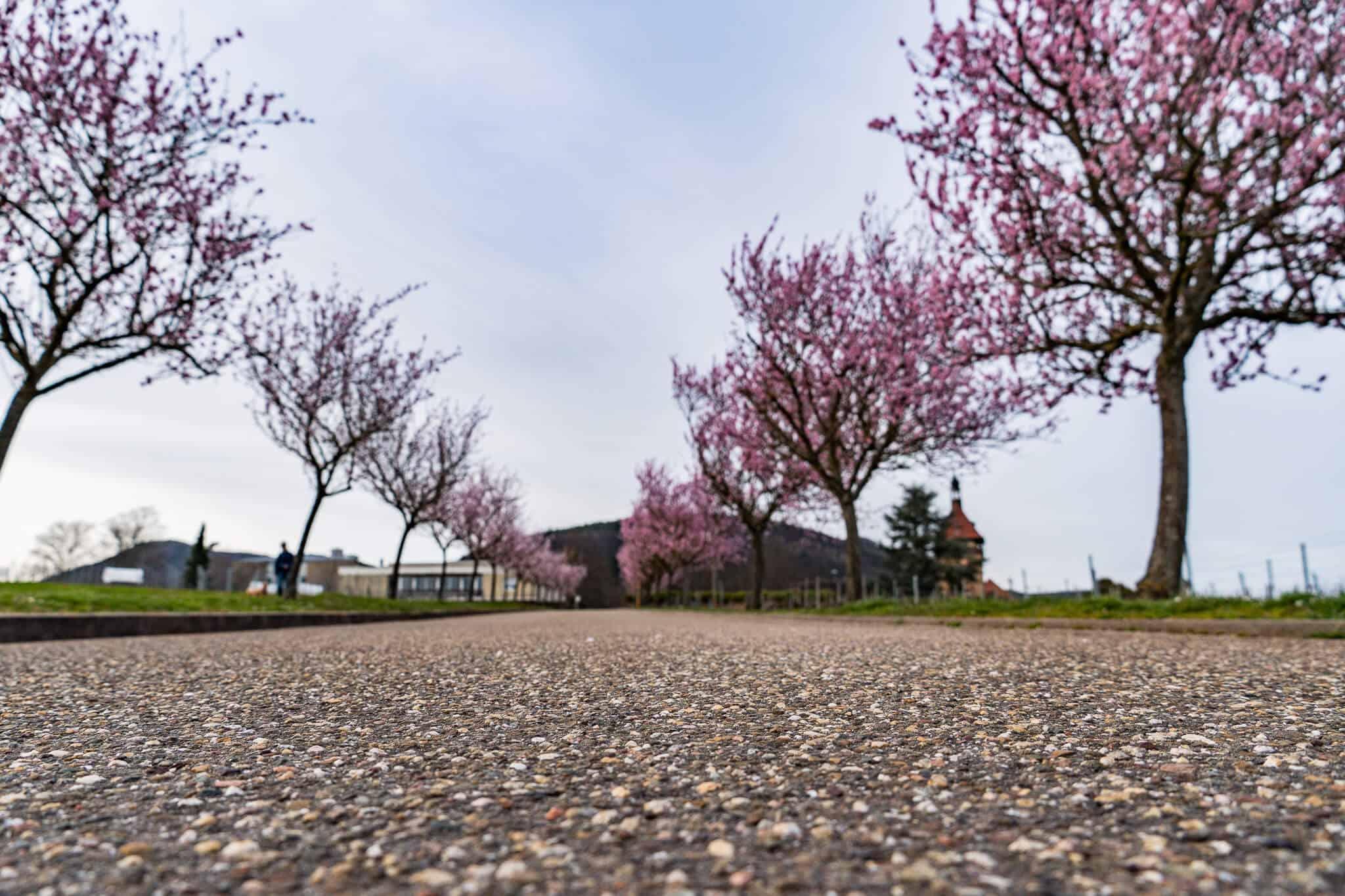 Am Geilweiler Hof zur Mandelblüte