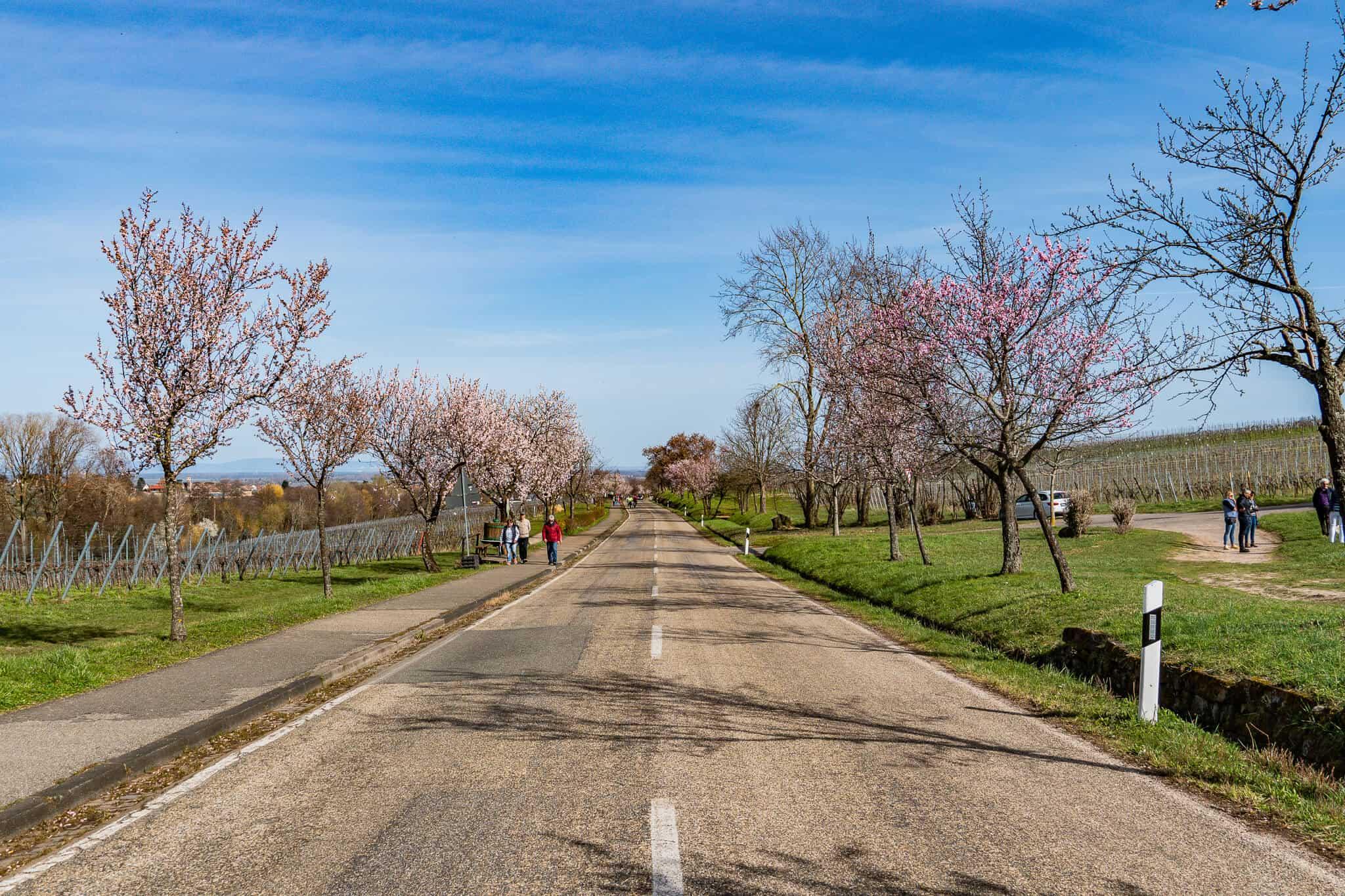 Edenkoben Mandelblüte