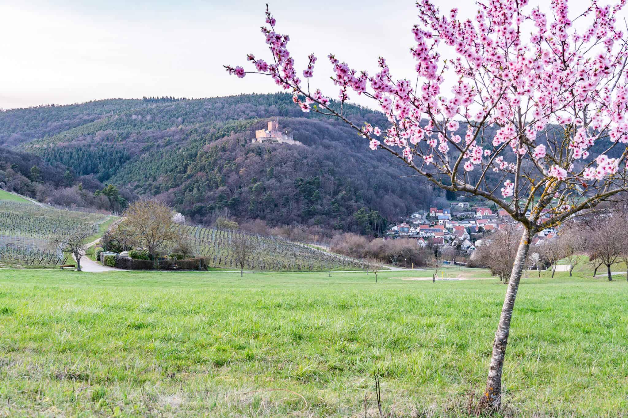 Mandelblüte Blick auf Burg Landeck