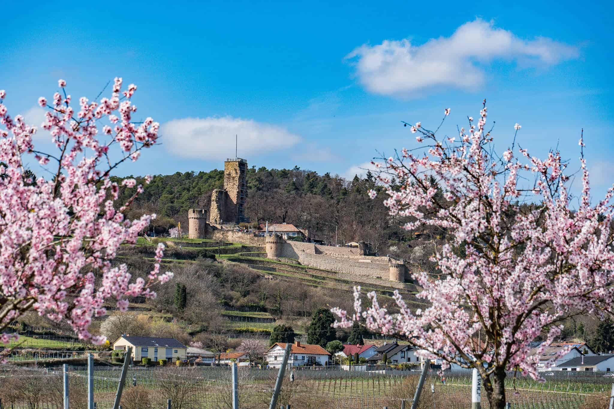 Ruine Wachtenburg zur Mandelblüte