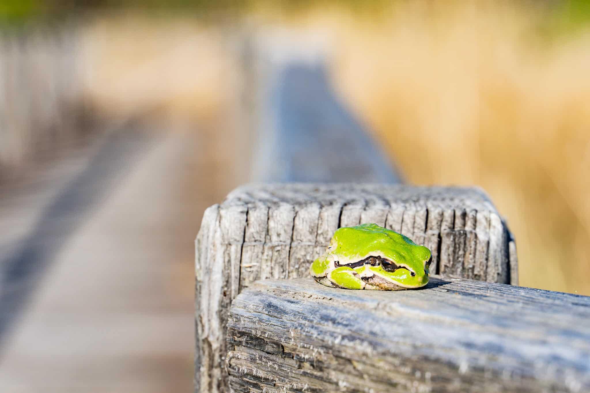Frosch am Durankulak See