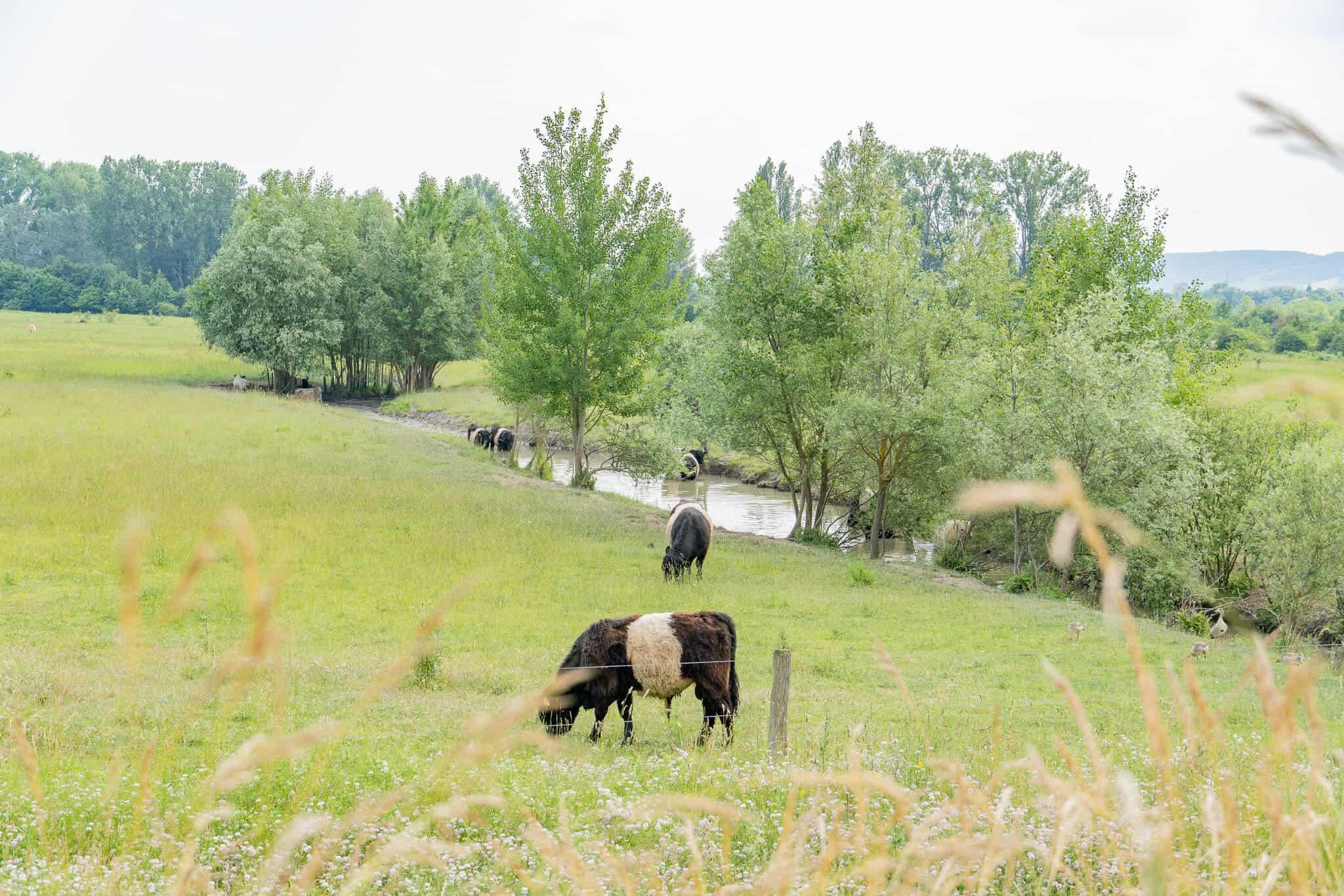 Kühe in den Rheinauen