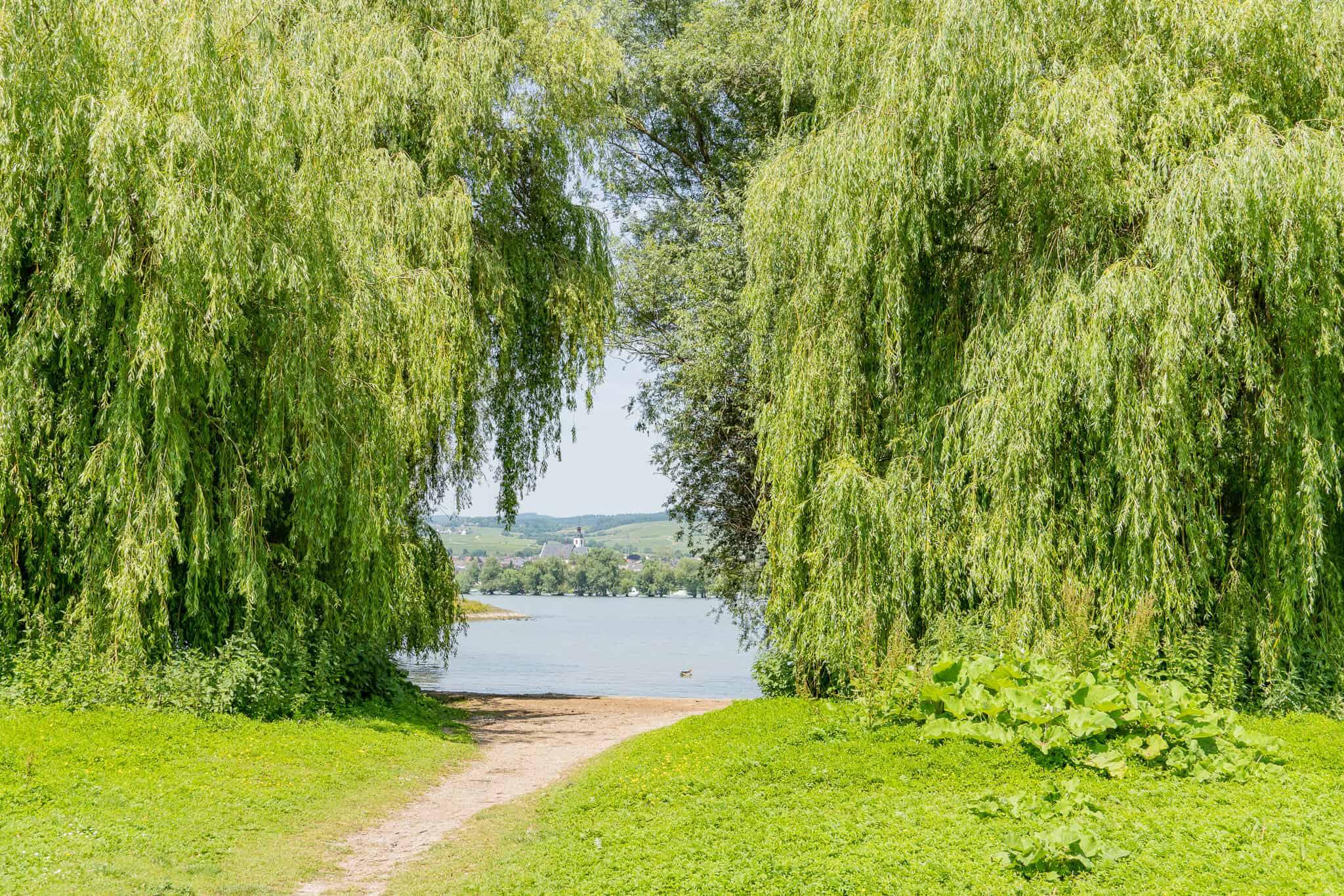 Rheinauen Blick auf den Rhein